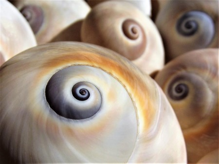 Detail of the shell of a moon snail