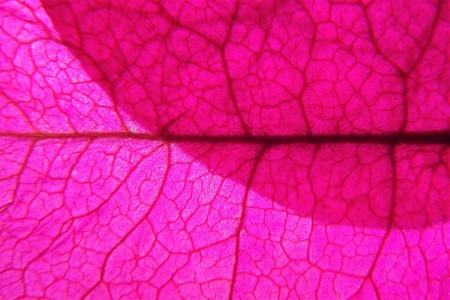 Overlapping bouganvillea leaf (macro)