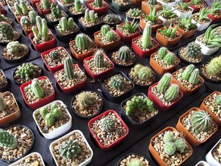 Cactus planting in a nursery Banco de Imagens