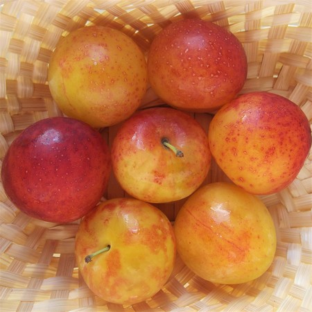 Plums in a braided straw basket