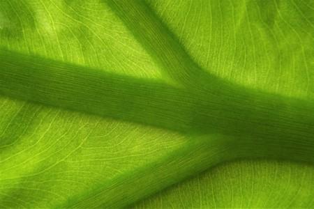 Taro leaf macro (Colocasia esculenta)