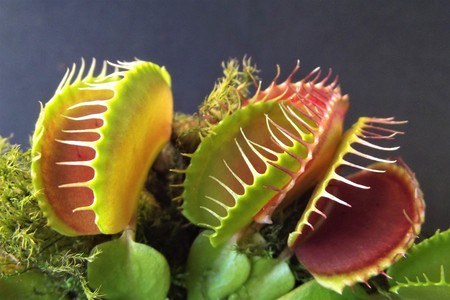 Close-up of the leaves of a carnivorous plant (Dionaea muscipula)