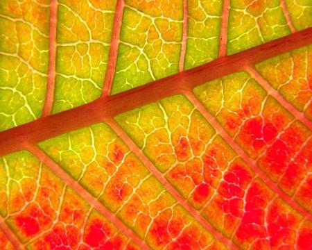 Poinsettia leaf macro (Euphorbia pulcherrima) Underside view Banco de Imagens