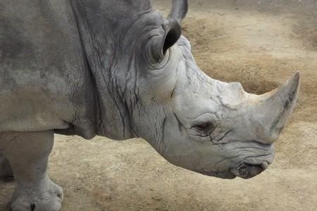 White rhinoceros head (Ceratotherium simum)