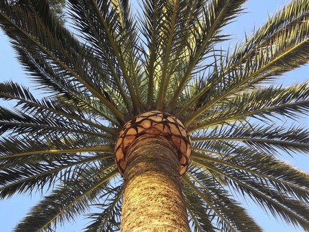 Canarian palm tree with trunk brushed seen from below (Phoenix canariensis)