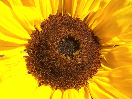 Sunflower open in the summer sun (Helianthus annuus) Stockfoto