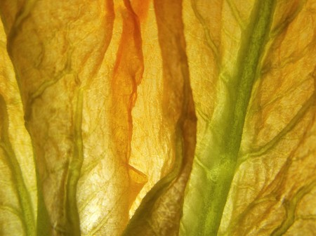 Macro photo of a zucchini flower petals (Cucurbita pepo)