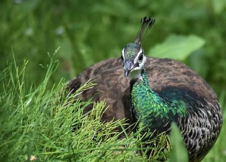 Peacock female among the grass (Pavo cristatus) Stockfoto
