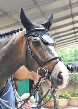 Detail of a saddle horse head with earmuffs (Equus ferus)