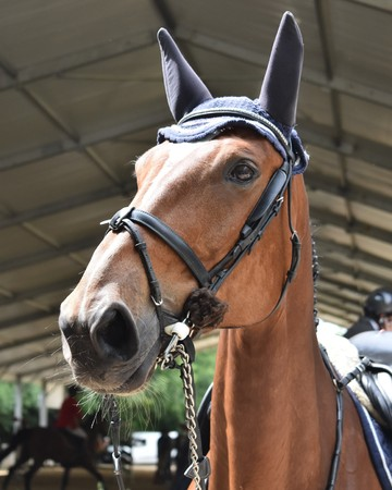 Detail of sorrel horse head with harnesses Stock Photo