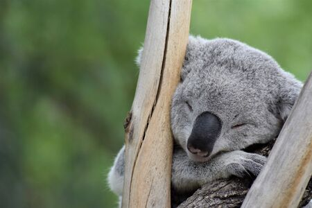 Koala (Phascolarctos cinereus) sleeping between branches with unfocused vegetation background