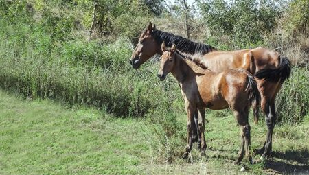 Portrait of a chestnut mare and her foal resting in the sun on a green meadow