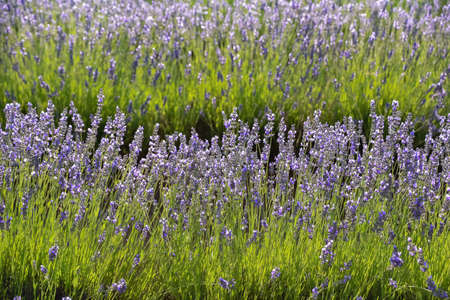 Foreground of lavender flowers rows blooming in the sun. Vegetable background