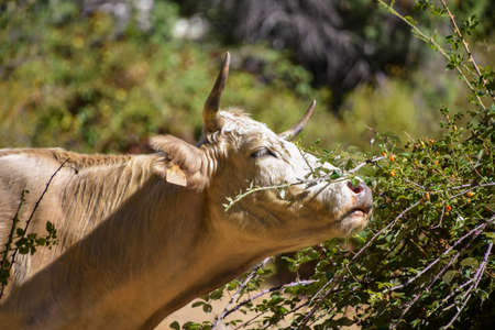 Blond cow eating leaves and berries from a thorny bush on a blurred wooded background. Cattle grazing in freedom in the