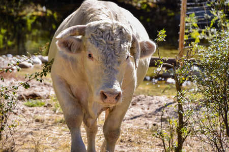 Foreground of an albin ox looking at camera after drinking water in a stream. Cattle grazing in freedom in the