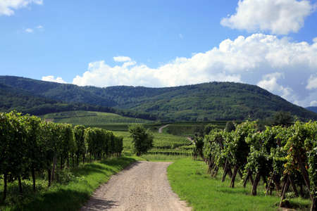 Route des vines in Alsace - France. Vineyard. Stock Photo - 3665787