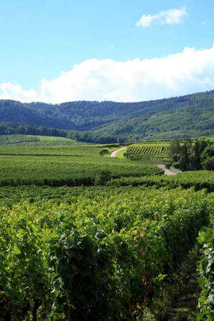 Route des vines in Alsace - France. Vineyard. Stock Photo - 3665784
