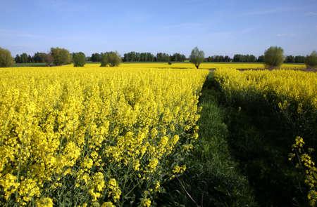 bio diesel: Field of yellow rape ( canola ) - biofuel