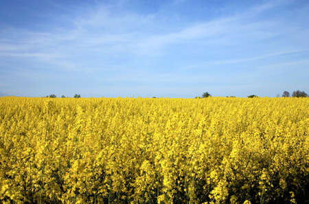 Field of yellow rape ( canola ) - biofuel photo
