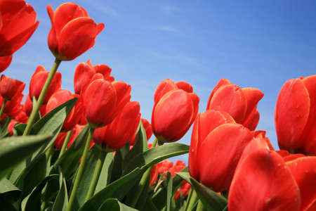 slantwise: Campo di tulipani rossi e blu cielo, primavera in Olanda.