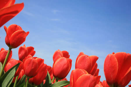 slantwise: Field of red tulips and blue sky, spring in Netherlands. Stock Photo