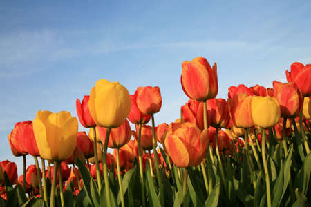 Dutch spring – field of  colored tulips  版權商用圖片