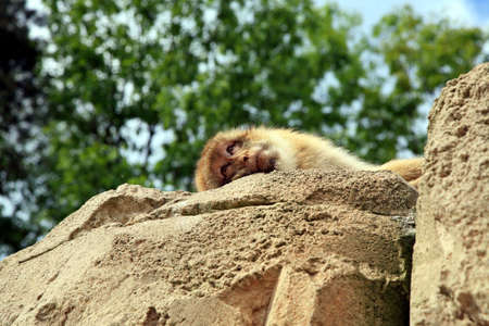 banter: Macaque lying on rock and looking down on people. Rest.