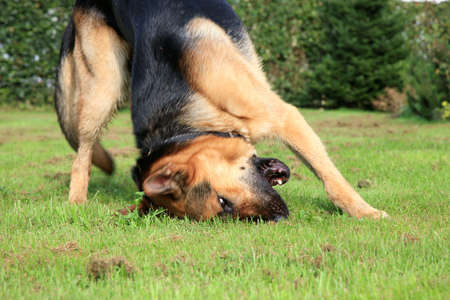 scratching head: Young Alsatian ( German Shepherd Dog ) rolling around on grass  Stock Photo