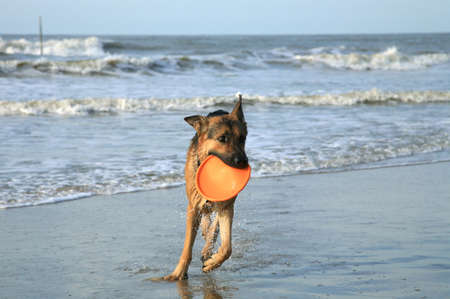 German Shepherd Dog ( Alsatian ) playing on the beach. photo