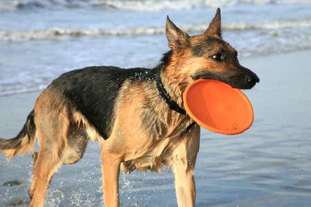 German Shepherd Dog ( Alsatian ) playing on the beach.