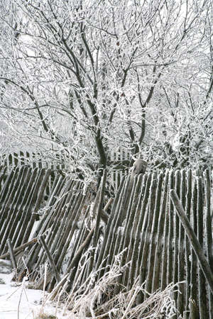 Trees with snow. Foggy day by winter. photo
