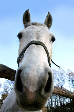 White, big horse looking at camera. Horse�s head close-up. Stock Photo - 3891292