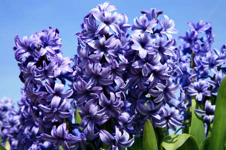 hyacinths: Hyacinth – close-up. Spring flower. Stock Photo