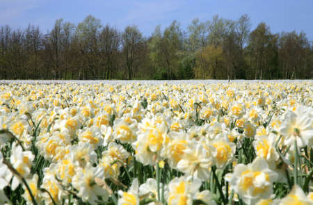 Field full of jonquils and narcissus.  Dutch landscape by spring. Netherlands. photo