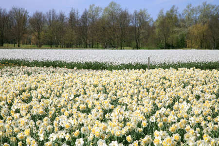 jonquil: Field full of jonquils and narcissus.  Dutch landscape by spring. Netherlands.