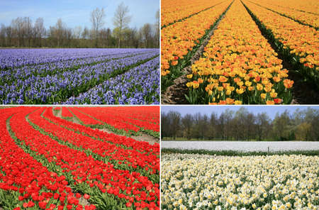 Spring flowers collage made of red and yellow tulips, violet hyacinths and white narcissuses. Four photos. Dutch landscape. photo