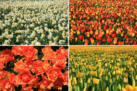 Spring flowers collage made of red and yellow tulips and white narcissuses. Four photos.  photo
