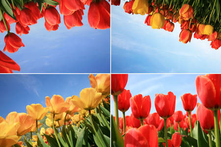 Spring flowers collage made of red and yellow tulips. Four photos.  photo