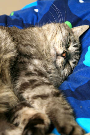 snoozing: Domestic, striped, grey  cat sleeping on the bed. Stock Photo