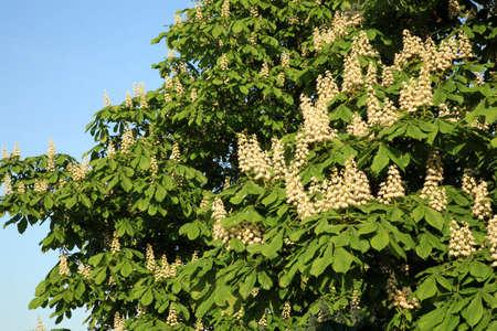 Blossoming white chestnut tree  (Aesculus hippocastanum). Spring's symbol.