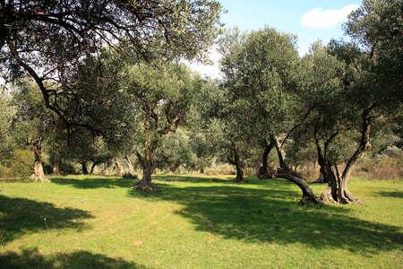Old olive grove on Peljesac Peninsula - Croatia. 版權商用圖片