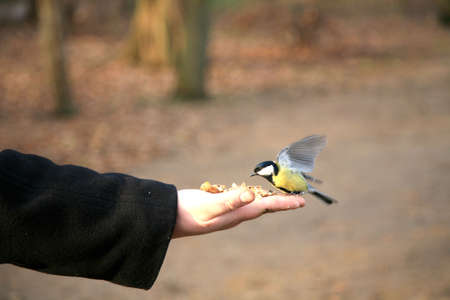 Hungry tit bird sitting on hand with a seed and feeding, winter.