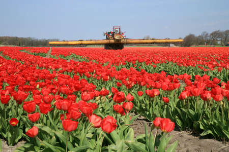 Tulips farm in Netherlands. Spring works on field. Tractor on field. 版權商用圖片