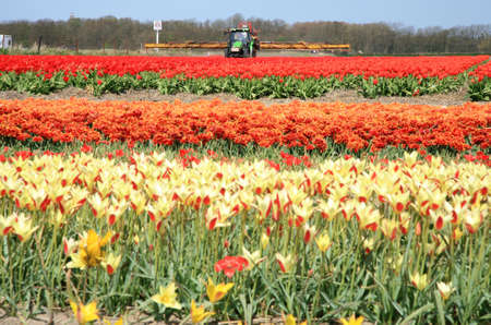 Tulips farm in Netherlands. Spring works on field. Tractor on field. Stock Photo - 4226257