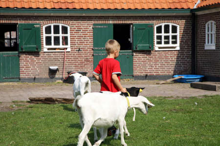 Little boy leading goats to the stable. Typical educational farm in the Hague. Netherlands