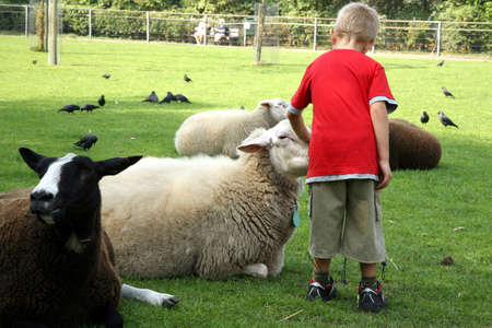 land animals: Little boy with herd of sheeps - white and black
