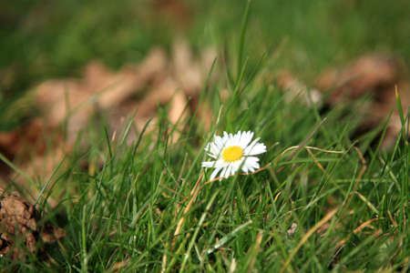 indication: Wild daisies on the lawn - indication of the spring.  Daisy - springs flower.