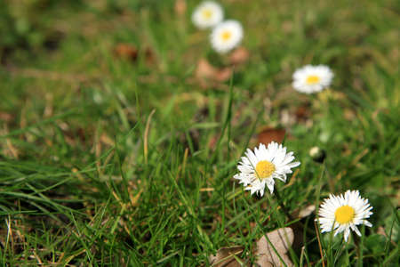Wild daisies on the lawn - indication of the spring.  Daisy - spring's flower. Stock Photo - 4550775