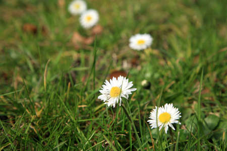 Wild daisies on the lawn - indication of the spring.  Daisy - spring's flower. Stock Photo - 4550772