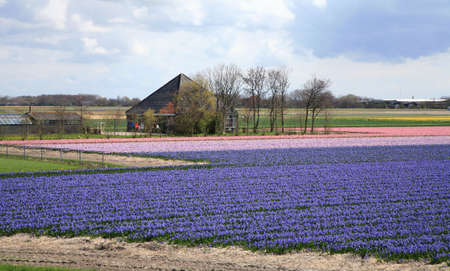hyacinths: Colorful spring on Dutch country. Field of early flowers. Netherlands Stock Photo
